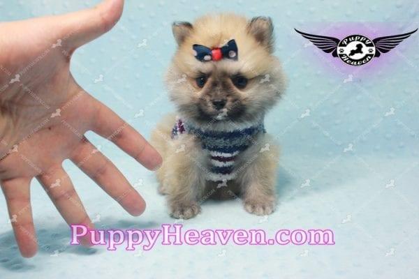 Chico - Teacup Pomeranian Puppy -10799