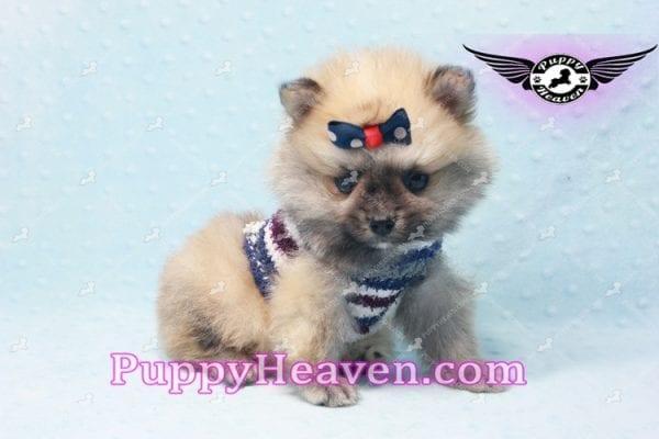 Chico - Teacup Pomeranian Puppy -10798