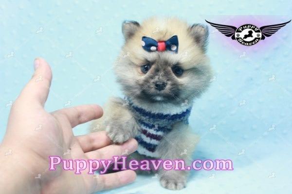 Chico - Teacup Pomeranian Puppy -10804