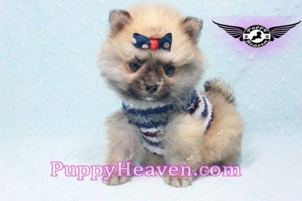 Chico - Teacup Pomeranian Puppy -10809