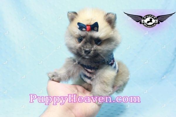 Chico - Teacup Pomeranian Puppy -10806