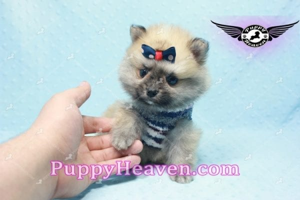 Chico - Teacup Pomeranian Puppy -10802
