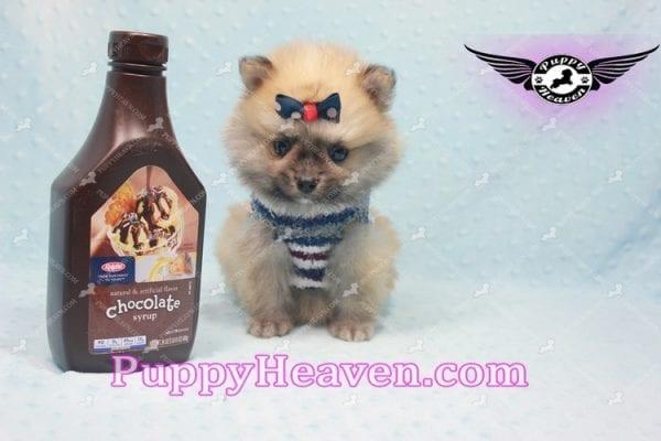 Chico - Teacup Pomeranian Puppy -0