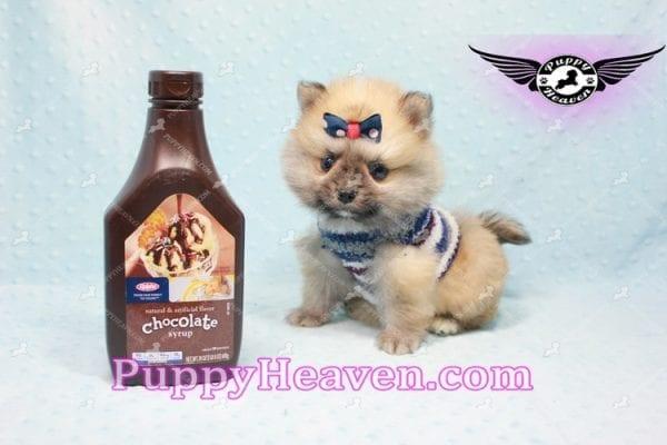 Chico - Teacup Pomeranian Puppy -10810