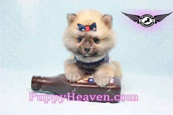 Chico - Teacup Pomeranian Puppy -10803