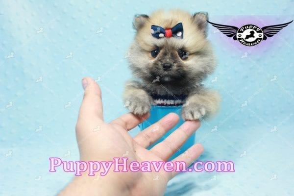 Chico - Teacup Pomeranian Puppy -10807