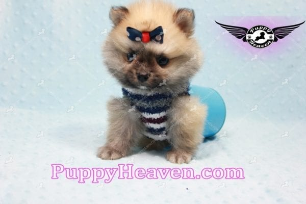 Chico - Teacup Pomeranian Puppy -10800