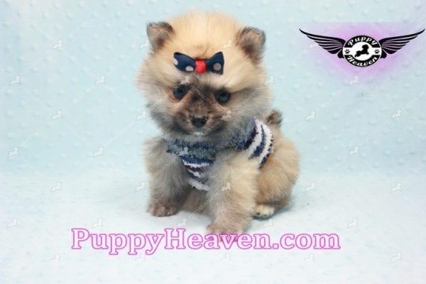 Chico - Teacup Pomeranian Puppy -10808