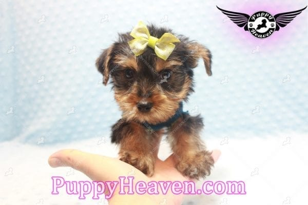Chris Evans - Teacup Yorkie Puppy has found a good loving home with Cody from Fort Irwin, CA 92310-11119
