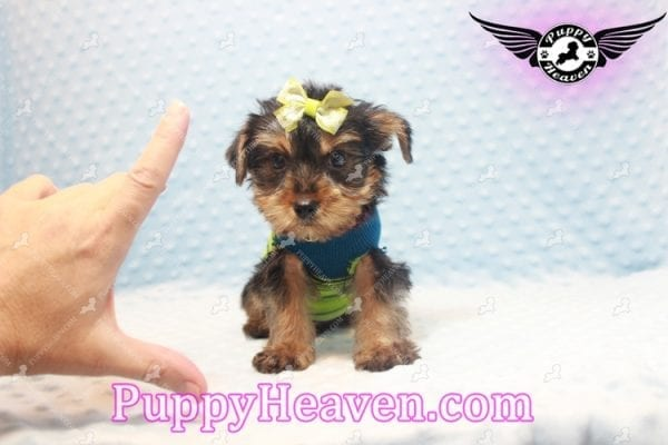 Chris Evans - Teacup Yorkie Puppy has found a good loving home with Cody from Fort Irwin, CA 92310-11117