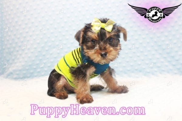 Chris Evans - Teacup Yorkie Puppy has found a good loving home with Cody from Fort Irwin, CA 92310-11121
