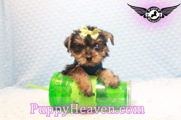 Chris Evans - Teacup Yorkie Puppy has found a good loving home with Cody from Fort Irwin, CA 92310-11118