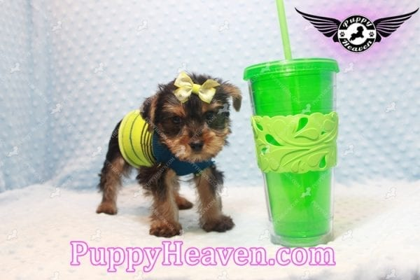 Chris Evans - Teacup Yorkie Puppy has found a good loving home with Cody from Fort Irwin, CA 92310-11123