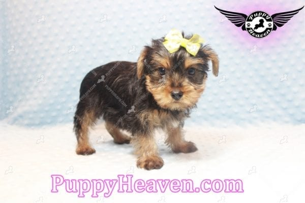 Chris Evans - Teacup Yorkie Puppy has found a good loving home with Cody from Fort Irwin, CA 92310-11120