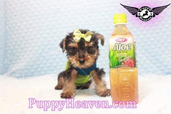 Chris Evans - Teacup Yorkie Puppy has found a good loving home with Cody from Fort Irwin, CA 92310-0