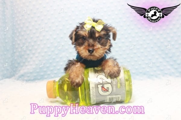 Chris Evans - Teacup Yorkie Puppy has found a good loving home with Cody from Fort Irwin, CA 92310-11122