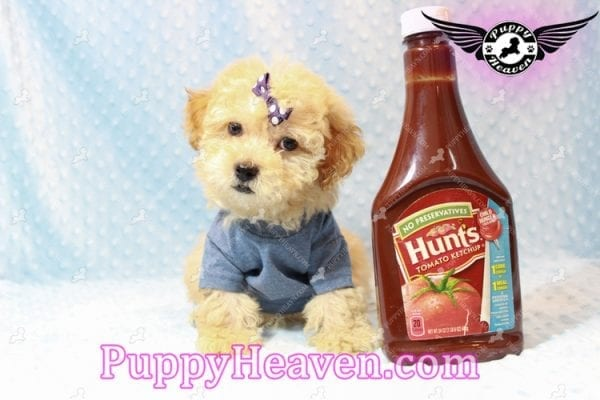 Cinnamon - Teacup Maltipoo Puppy has found a good loving home with Ivonne from Henderson, NV 89052-11197