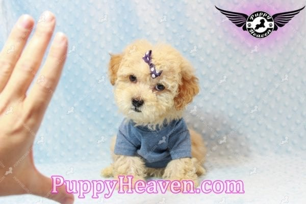 Cinnamon - Teacup Maltipoo Puppy has found a good loving home with Ivonne from Henderson, NV 89052-11196