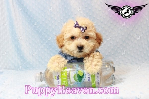 Cinnamon - Teacup Maltipoo Puppy has found a good loving home with Ivonne from Henderson, NV 89052-11198