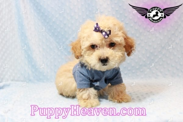 Cinnamon - Teacup Maltipoo Puppy has found a good loving home with Ivonne from Henderson, NV 89052-11193
