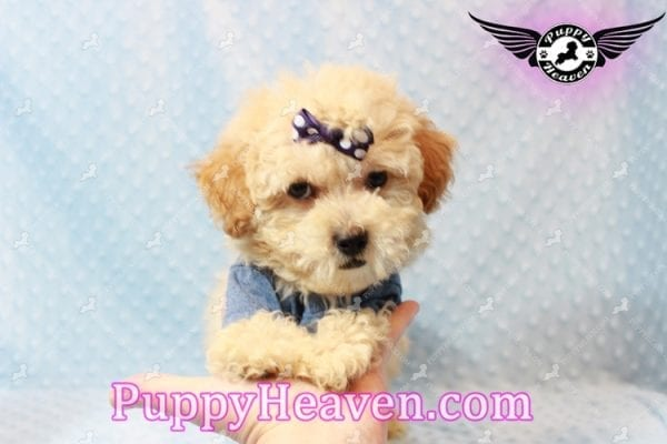 Cinnamon - Teacup Maltipoo Puppy has found a good loving home with Ivonne from Henderson, NV 89052-11194