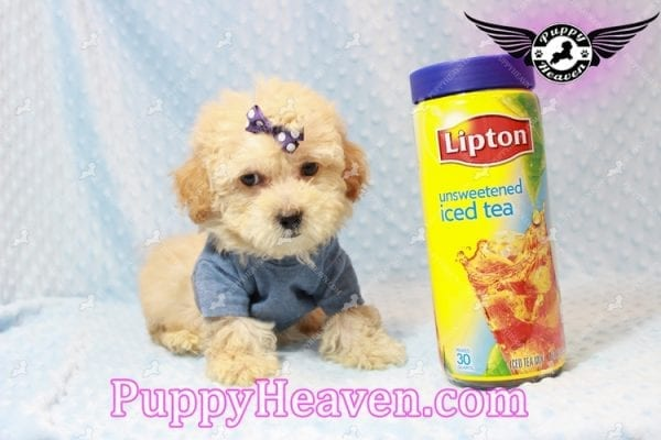 Cinnamon - Teacup Maltipoo Puppy has found a good loving home with Ivonne from Henderson, NV 89052-0