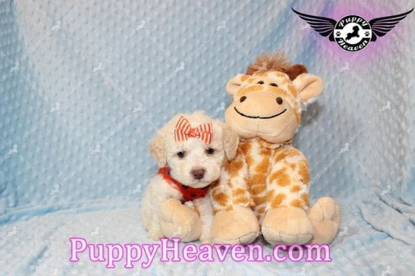 Cupid - Teacup Maltipoo Puppy Has Found A good loving Home With Tanya in Pheonix, AZ 85018!-7854