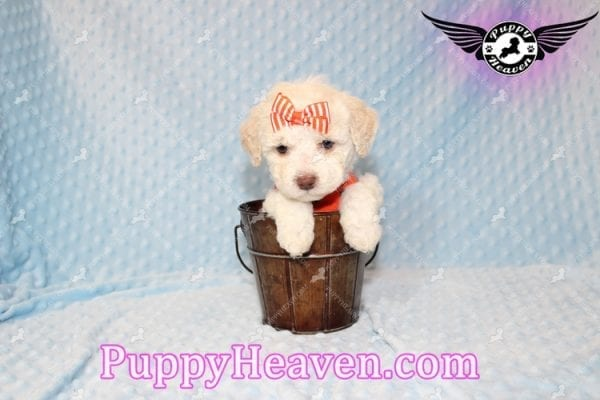 Cupid - Teacup Maltipoo Puppy Has Found A good loving Home With Tanya in Pheonix, AZ 85018!-7855
