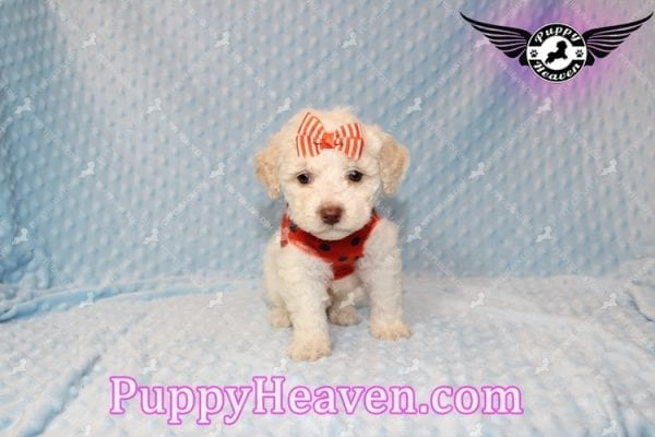 Cupid - Teacup Maltipoo Puppy Has Found A good loving Home With Tanya in Pheonix, AZ 85018!-7852