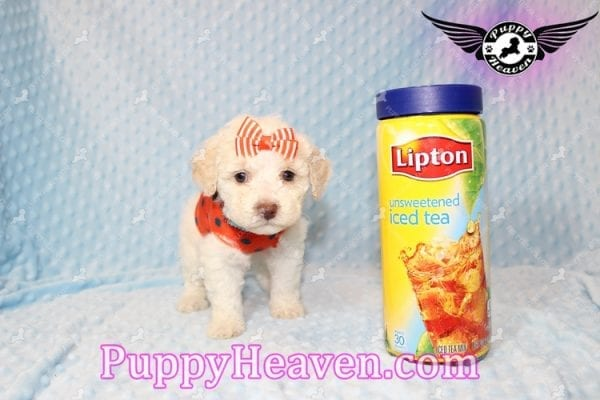 Cupid - Teacup Maltipoo Puppy Has Found A good loving Home With Tanya in Pheonix, AZ 85018!-7853