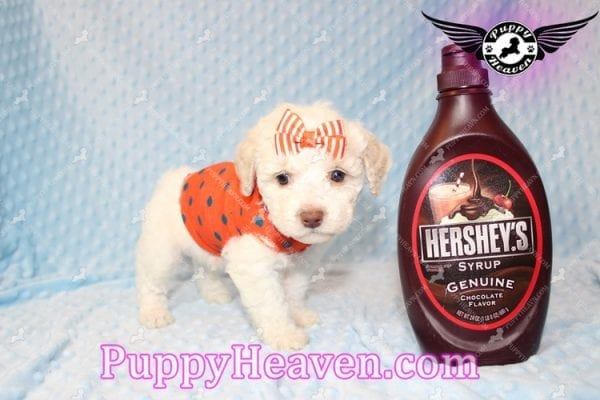 Cupid - Teacup Maltipoo Puppy Has Found A good loving Home With Tanya in Pheonix, AZ 85018!-7851