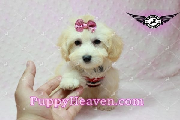 Curly Sue - Teacup Maltipoo Puppy In L.A-11299