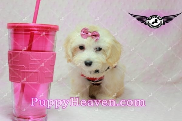Curly Sue - Teacup Maltipoo Puppy In L.A-11298