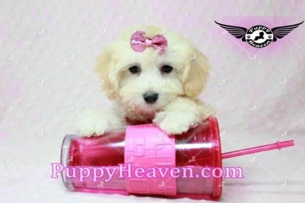 Curly Sue - Teacup Maltipoo Puppy In L.A-11301