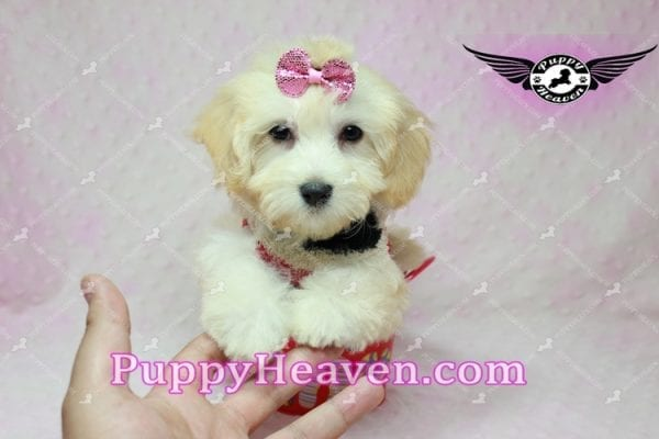 Curly Sue - Teacup Maltipoo Puppy In L.A-11302