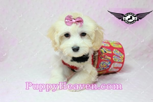 Curly Sue - Teacup Maltipoo Puppy In L.A-11304