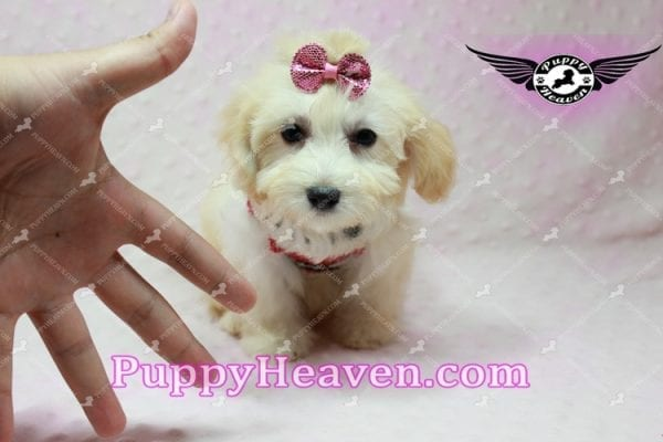 Curly Sue - Teacup Maltipoo Puppy In L.A-11303