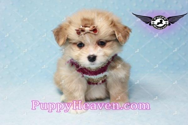 Dambo - Teacup Pomshi Puppy in L.A-11008