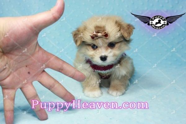 Dambo - Teacup Pomshi Puppy in L.A-11005