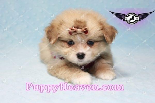 Dambo - Teacup Pomshi Puppy in L.A-11002