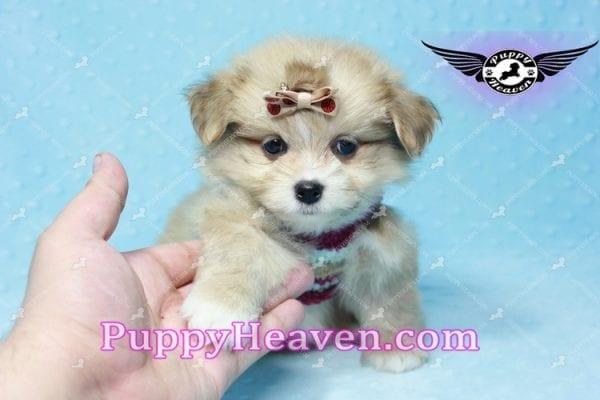Dambo - Teacup Pomshi Puppy in L.A-11004