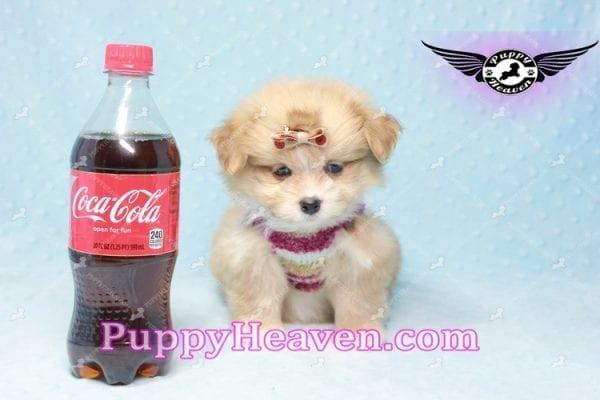 Dambo - Teacup Pomshi Puppy in L.A-0