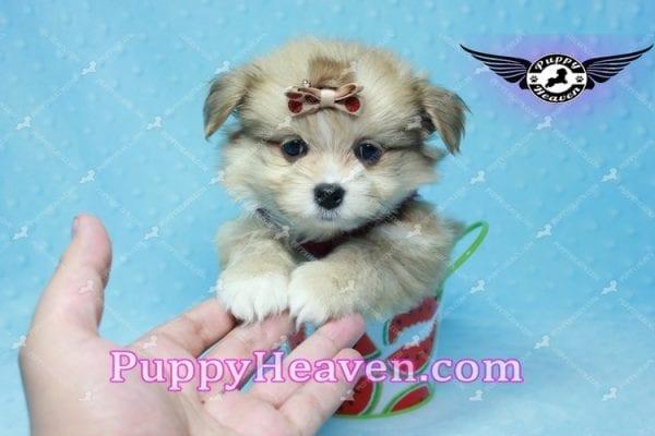 Dambo - Teacup Pomshi Puppy in L.A-11003
