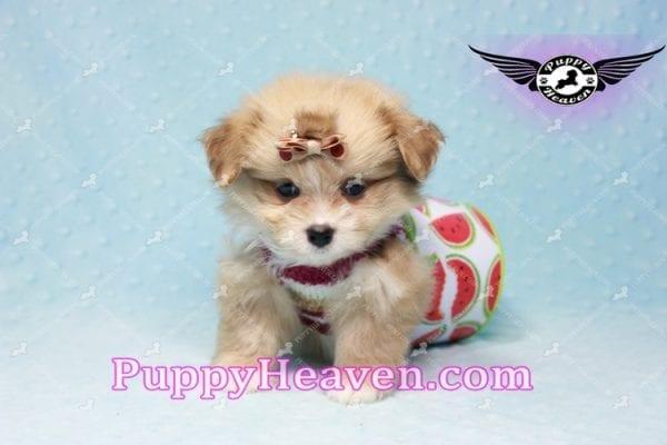 Dambo - Teacup Pomshi Puppy in L.A-11006