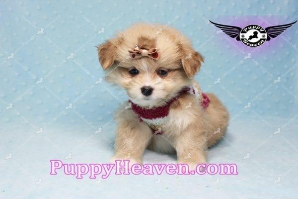 Dambo - Teacup Pomshi Puppy in L.A-11001