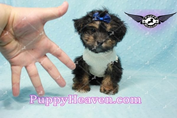 Dark Night - Morkie Puppy In L.A Found A New Loving Home With Debra From From Northridge CA -11016