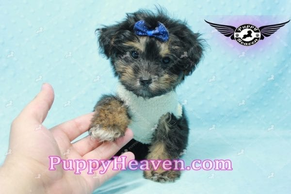 Dark Night - Morkie Puppy In L.A Found A New Loving Home With Debra From From Northridge CA -11020
