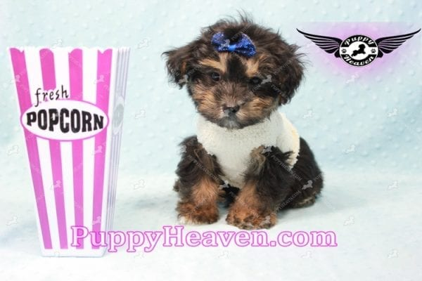 Dark Night - Morkie Puppy In L.A Found A New Loving Home With Debra From From Northridge CA -11017