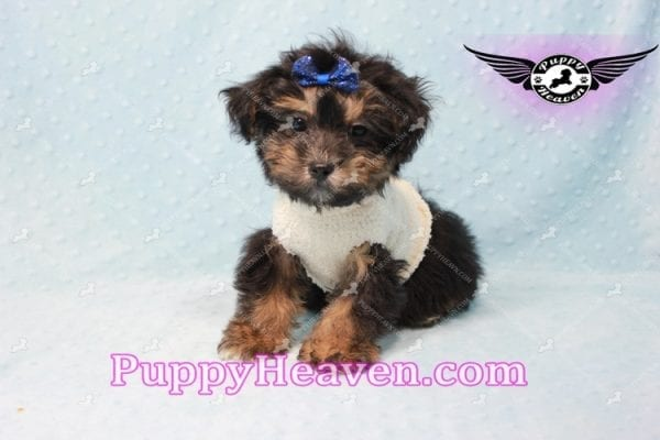 Dark Night - Morkie Puppy In L.A Found A New Loving Home With Debra From From Northridge CA -0