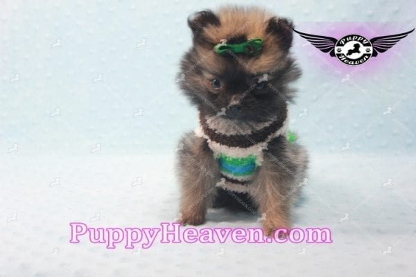 Diamond King - Micro Pomeranian -10813
